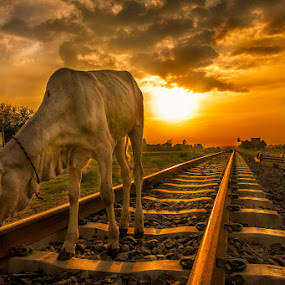 Crossing the rails by Liquid Lens - Animals Other Mammals (  )