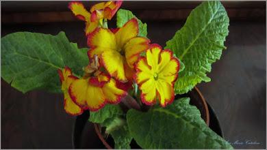 "Photo: Primula (Primula: veris, vulgaris)  - din Turda, Str. Salinelor, Nr.15 - plantata ""azi""  - 2019.03.23"