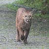 Onça-parda (Puma)