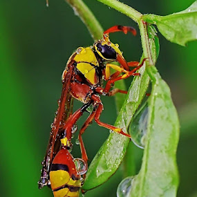 YELLOW JACKET by Ian Sumatika - Animals Insects & Spiders