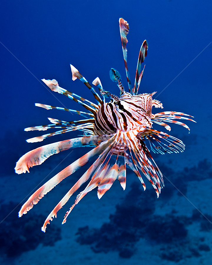 Lionfish by Rico Besserdich - Animals Sea Creatures ( lionfish )