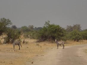 Photo: The giraffes cross the road.