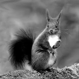 Europeen Red squirrel by Gérard CHATENET - Black & White Animals