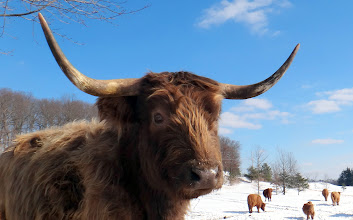 Photo: One of our favorite young cows, Vicki on a sunshiny day...