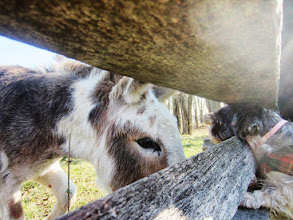 Photo: Puppy and donkey staring at each other at Carriage Hill Metropark in Dayton, Ohio.