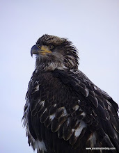 Photo: Juvenile Bald Eagle