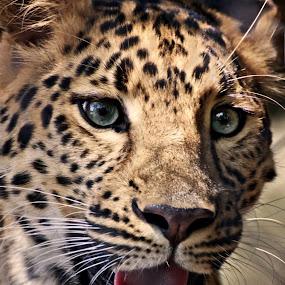 by Brook Kornegay - Animals Other Mammals ( big cat, wild, cat, zoo, amur leopard, feline, portrait, leopard, animal )