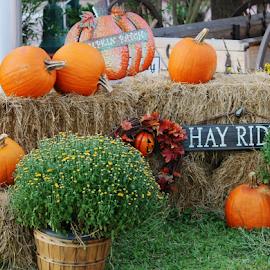 by Priscilla Renda McDaniel - Public Holidays Thanksgiving ( orange, pumpkin, green, hay, wagon, brown, mums, hay ride,  )
