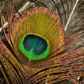 Peacock Feather by Arsalan Sandhila - Nature Up Close Other Natural Objects