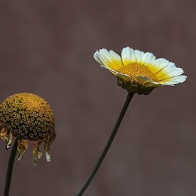 by Shyama Dev - Flowers Flower Arangements