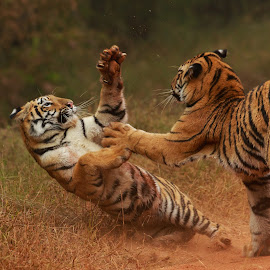 Play fight by Saumitra Shukla - Animals Lions, Tigers & Big Cats ( beautiful, amazing, cat, animal, playing, tiger, travel, cubs, big cat, playful, wild, wildlife )