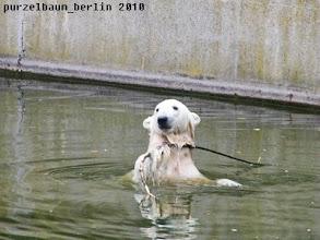 Photo: Knut widmet sich wieder dem Stoeckchen...