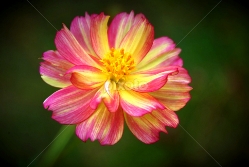 Pink and yellow cosmos single flower flowers pixoto pink and yellow cosmos by greg crisostomo flowers single flower cosmos pink mightylinksfo