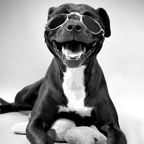 Carl by Ranee Rose - Animals - Dogs Portraits ( black dog, animals, dogs, glasses, dogs in sunglasses, rescue, pit bull, cute, sunglasses, pets, paws, dog, black,  )