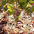 Blue Cohosh (Wildflower)