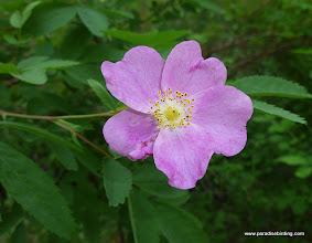 Photo: Wild Rose. Black Pine Spring.