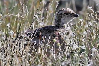 Photo: White-tailed Ptarmigan chick