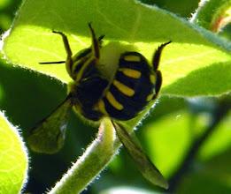 Photo: ANTHIDIUM FLORENTINUM (anthidie) récoltant du duvet sous une feuille de cognassier pour édifier son nid.