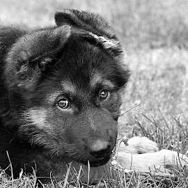 Little Pup by Chrissie Barrow - Black & White Animals ( monochrome, black and white, pet, fur, ears, grey, puppy, dog, mono, nose, portrait, eyes, animal,  )