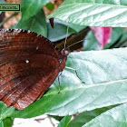 Common Palm Fly