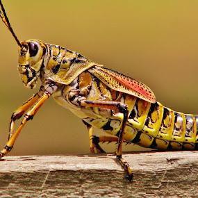 Flubber grasshopper by Priscilla Renda McDaniel - Animals Insects & Spiders (  )
