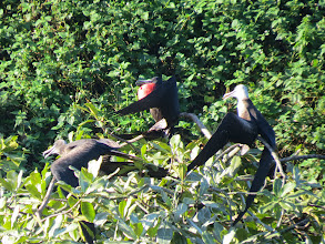 Photo: Rare to see Magnificent Frigatebirds in a tree.