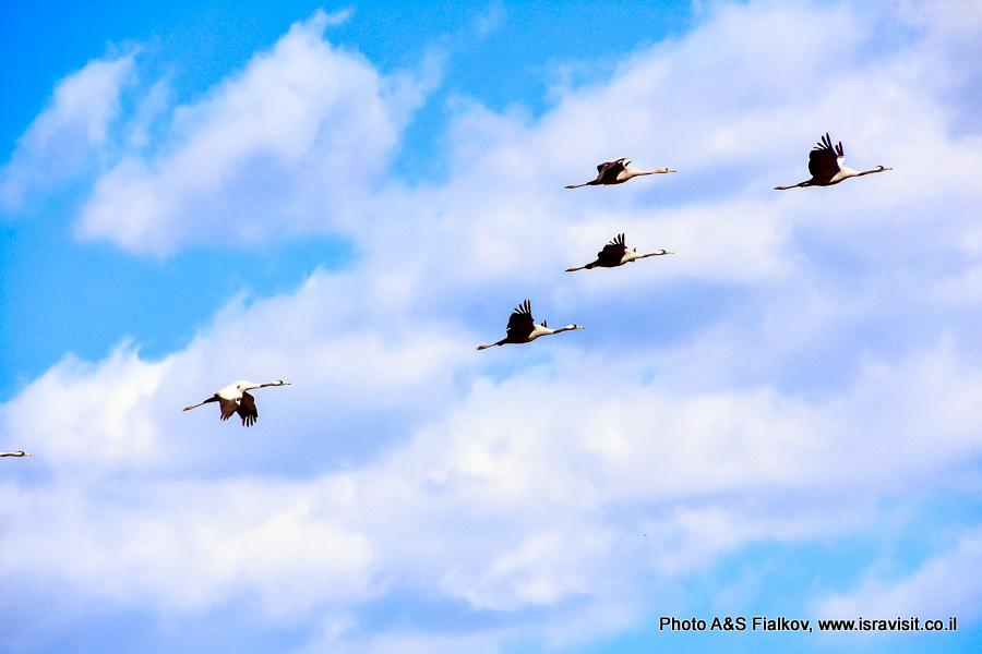 Журавли летят. Экскурсия в Израиле в заповедник птиц.