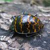 Pleasing Fungus Beetle, Zigzag Beetle