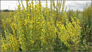 Photo: Lumânărică (Verbascum densiflorum), plantlă medicinală - pe camp la capatul str. Liviu Rebreanu din Turda -2 019.07.17