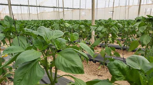 La agricultura intensiva y los bioestimulantes