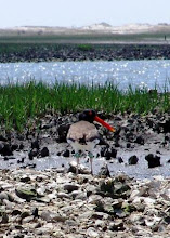 Photo: Banded American Oystercatcher at Deep Creek