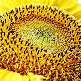 The Sun Essence by Benyamin Kristiawan - Nature Up Close Flowers - 2011-2013 ( macro, sun flower, flower, sun )