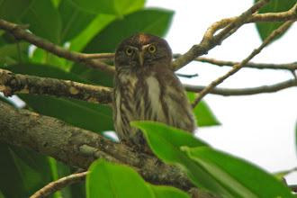 Photo: Ferruginous Pygmy-Owl