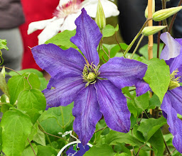 Photo: Clematis 'Rhapsody'