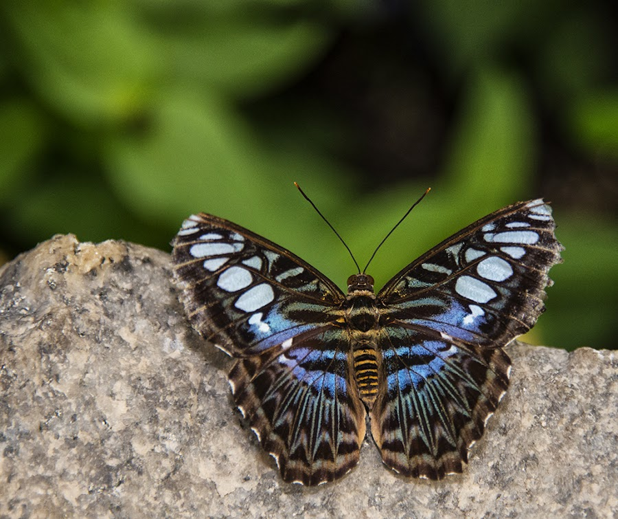 On A Rock by John Goff - Animals Insects & Spiders ( brookside gardens wings butter )
