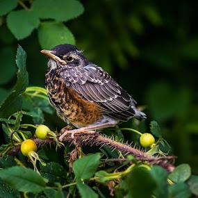 Baby Robin by Glen Sande - Animals Birds ( nature, wildlife, summer, nature up close, pentax k1, birds )