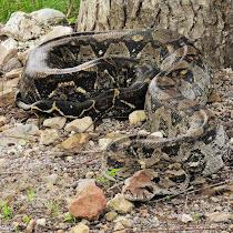 Reptiles de Zamorano Univ. campus (Honduras)