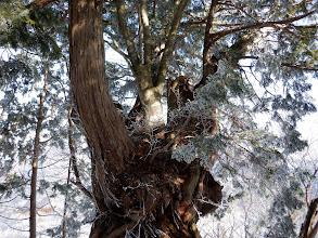 幹から生えるブナ林