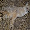 Indian jackal - female