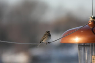 Photo: Dark-eyed junco
