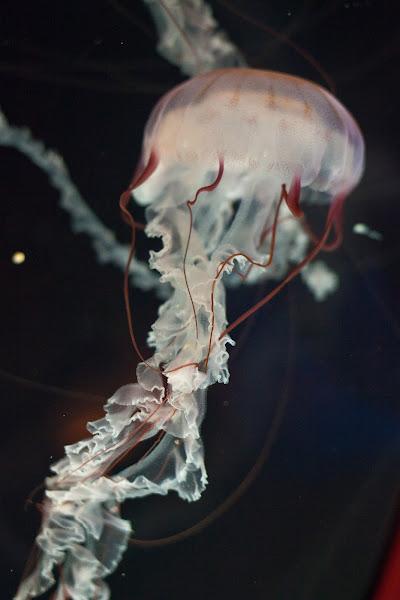 Photo: purple-striped sea nettle