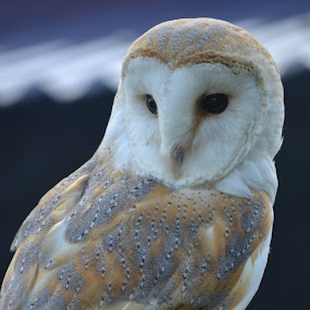 Watching by Carla Maloco - Animals Birds ( bird, bird of prey, barn owl, owl, raptor )