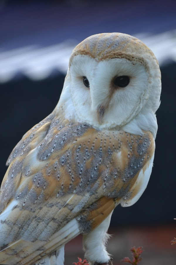 Watching by Carla Maloco - Animals Birds ( bird, bird of prey, barn owl, owl, raptor )
