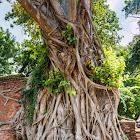 Chinese banyan, Malayan banyan, Indian laurel, curtain fig (w/ Buddha head in roots)