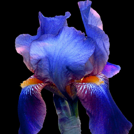 Pretty in Blue Iris by Tina Dare - Flowers Single Flower ( black background, macro, nature, blue, iris, flower,  )