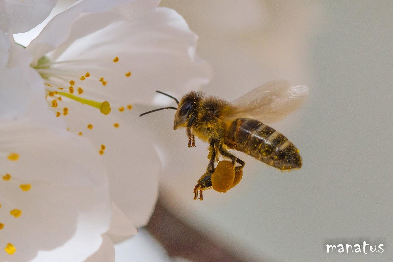 abeja en vuelo