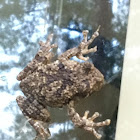Grey Tree Frog, male