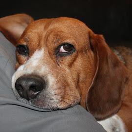 Big Brown Eyes by Sandy Stevens Krassinger - Animals - Dogs Portraits ( nose, whiskers, freckles, animal, brown, dog, eyes )