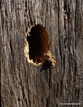 Photo: Fresh exit hole from Buprestid beetle, showing frass hanging at the edge. Metolius River.
