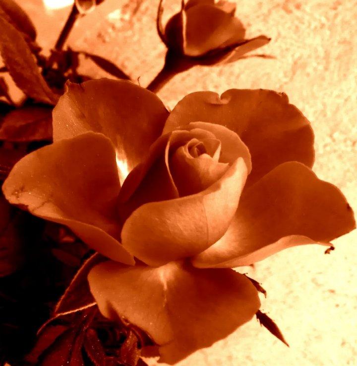 Rosa Antica di LaSalamandra
